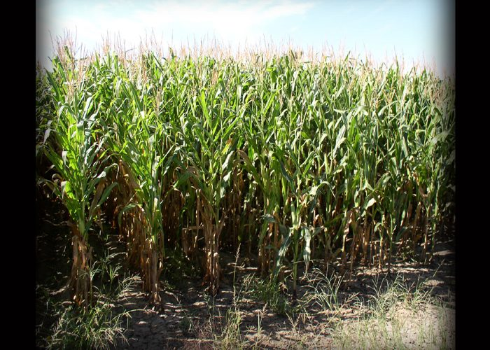 corn-1-copy